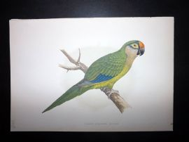 Greene Parrots in Captivity 1887 HC Bird Print. Golden-Crowned Conure